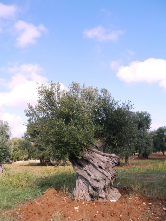 An old big olive tree with olives in autumn photo