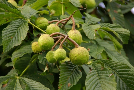 roughage: A close up of chestnuts in a tree in summer