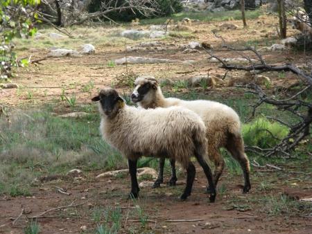 kornat: Pramenka sheep on the island Kornat in Croatia Stock Photo