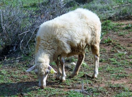 kornat: A pramenka sheep on the island Kornat in Croatia
