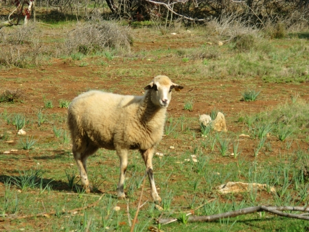 A pramenka sheep on the island Kornat in Croatia photo