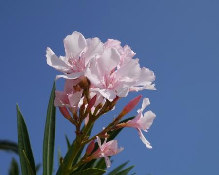 Una rosa en flor Oleander flores frente a un cielo azul Foto de archivo - 16257818