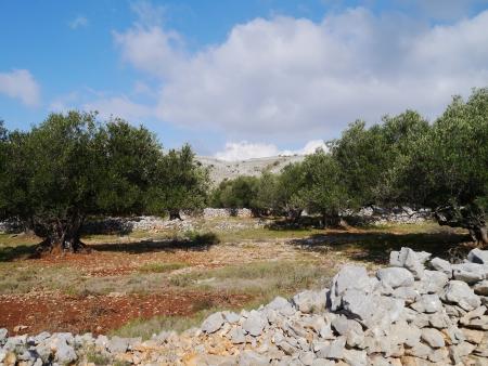 kornat: Old olive trees between the dry stone walls on the island Kornat in Croatia Stock Photo