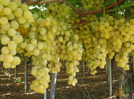 Bunches of white grapes in a wine vineyard in the south of Italy photo