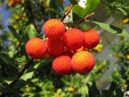 A strawberry tree  arbutus unedo  an evergreen with mature fruits Stock Photo