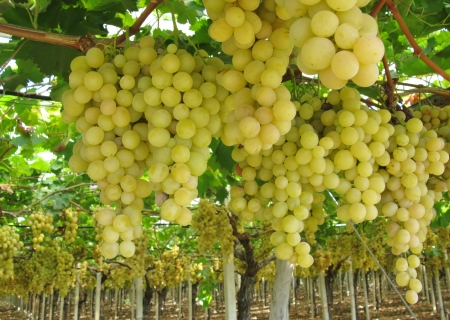 county side: Grapes in a Wine vineyard in Apulia in the south of Italy
