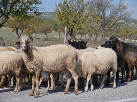 A crowd of sheep on a road in Gargano in Apulia in Italy photo