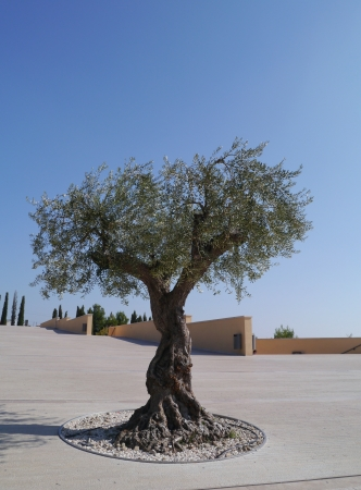 An olive tree on the square of the church of saint Pio from Pietrelcina in San Giovanni rotondo in Apulia in Italy