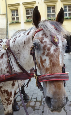 One of the horses of a carriage and pair in Krakow in Poland photo
