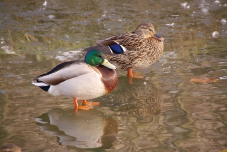 A couple of mallards on the ice in winter Stock Photo - 16644806