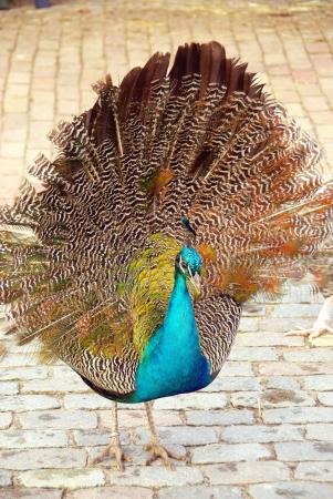 pavo: A indian or blue ribbon peacock  pavo christatus