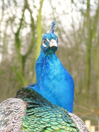 expended: A indian or blue ribbon peacock  pavo christatus