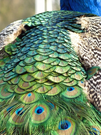 natural cock: A close up of an indian or blue ribbon peacock  pavo christatus