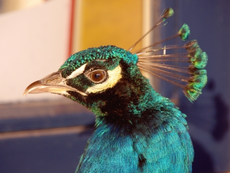 expended: An indian or blue ribbon peacock  pavo christatus    Stock Photo