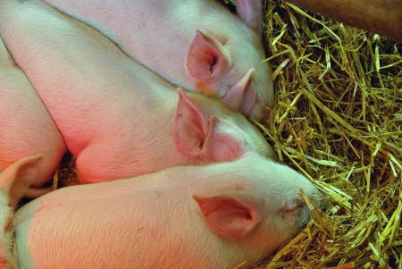 piglets: Very young piglets in the straw
