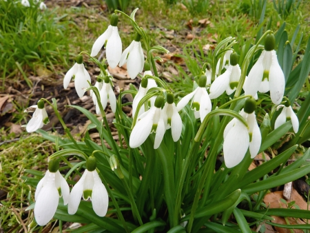 galanthus: A cluster flowering snowdrops in spring