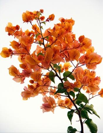 Orange flowering bougainvillae Stock Photo - 16664733