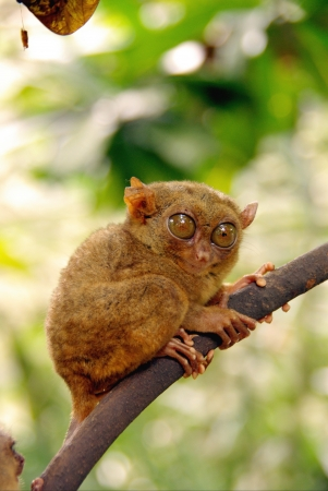 primate: A tarsier  tarsius coretta the smallest primate in the wild