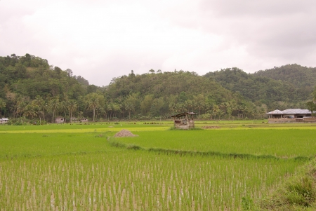 agronomic: Rice fields at the countryside in the philippines