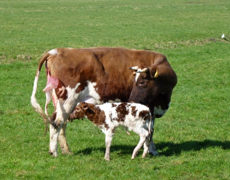 ruminate: A cow with a just born calf Stock Photo