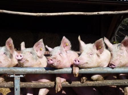 cochinos: Los cerdos j�venes charlando en la puerta de su establo esperando por la comida Foto de archivo