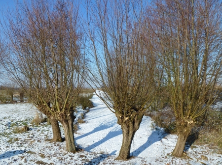 Willow trees in the fields in a snow landscape photo
