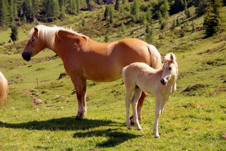 Haflinger horse with a foal in south Tirol photo