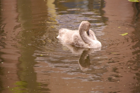 olur: A young swan in a canal