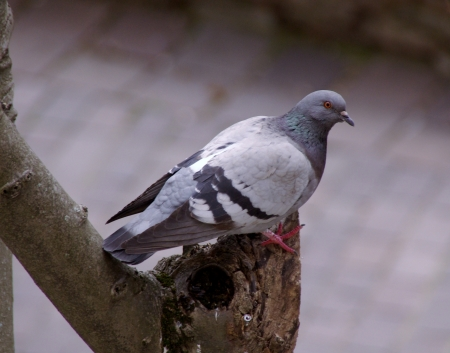A pigeon in a tree Stock Photo - 17077970