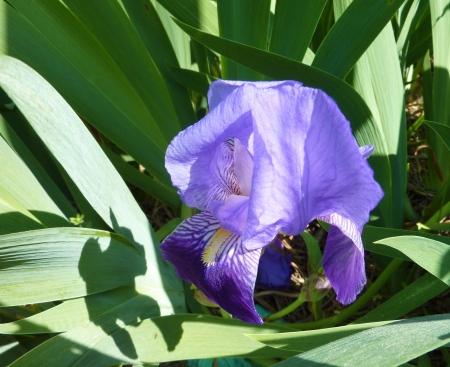 showy: Wild iris flowering plant with showy flowers