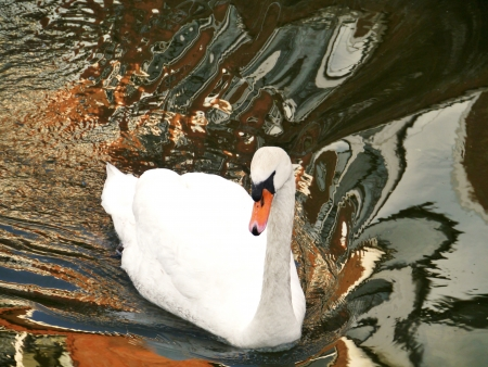 olur: A swimming mute swan in a canal in the city with reflections of the houses in the water