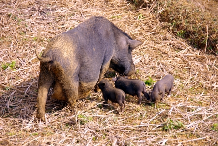 A potbellied pig with piglets on the straw of a rice terrace in Vietnam Stock Photo - 17259121