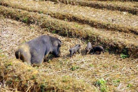 A potbellied pig with piglets on the straw of a rice terrace in Vietnam Stock Photo - 17259118