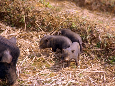 A potbellied pig with piglets on the straw of a rice terrace in Vietnam Stock Photo - 17259099