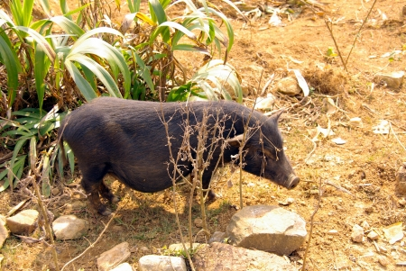 A potbellied pig in the fields of Vietnam Stock Photo - 17259115