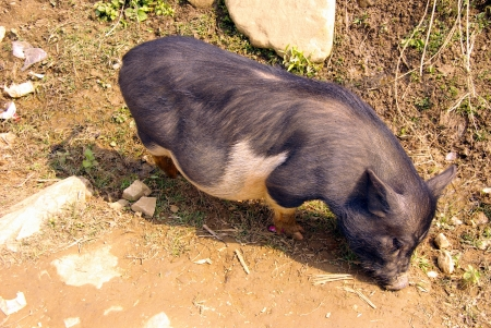A potbellied pig in the fields of Vietnam Stock Photo - 17259119