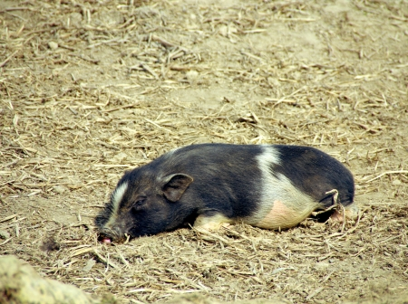 A sleeping potbellied pig in Vietnam Stock Photo - 17266886
