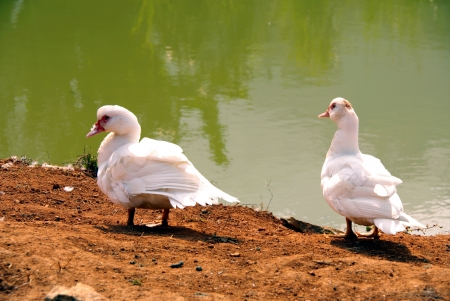 White ducks at the waterfront of a river in Vietnam photo