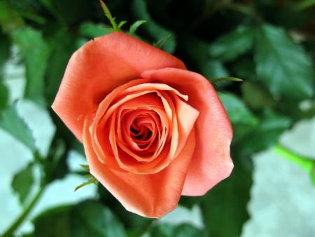 An orange blooming rose flower Stock Photo - 17267013
