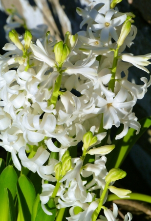A white blooming hyacinth in spring Stock Photo - 17267003
