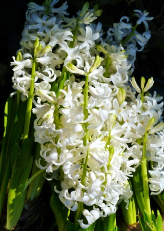 A white blooming hyacinth in spring Stock Photo - 17266989
