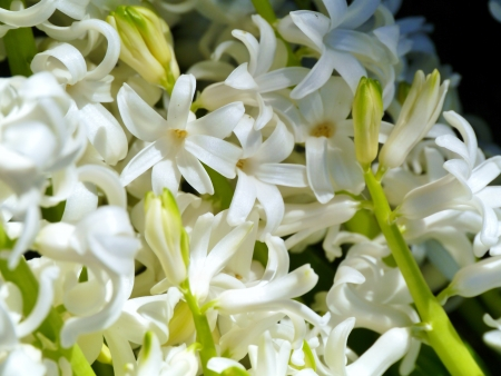 A white blooming hyacinth in spring Stock Photo - 17266986