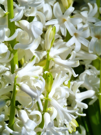 A white blooming hyacinth in spring Stock Photo - 17267010