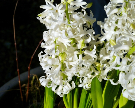 A white blooming hyacinth in spring Stock Photo - 17266984