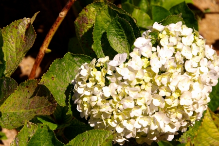 A flowering hortensia plant Stock Photo - 17452506