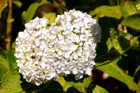 A flowering hortensia plant Stock Photo - 17452502