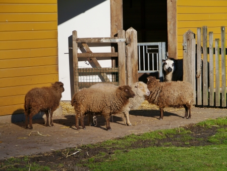 Brown sheep with long hairs Stock Photo - 17456306