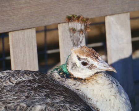 expended: A indian or blue ribbon peahen  pavo christatus   Stock Photo