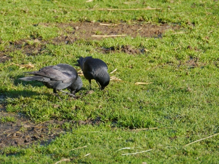 Two hooded crows on the grass in winter Stock Photo - 17456307