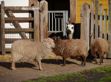 Brown sheep with long hairs Stock Photo - 17456297